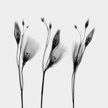 Lisianthus (Eustoma).jpg