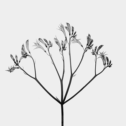 Kangaroo Paw (Anigonanthus).jpg