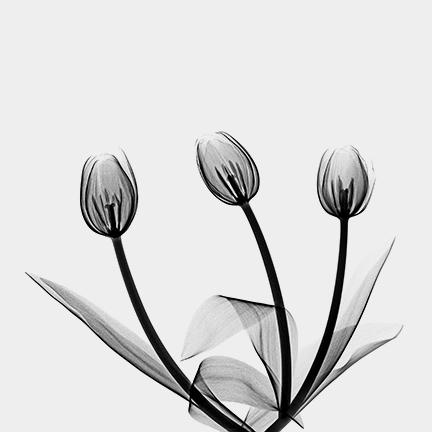 Tulip (Liliaceae}.jpg