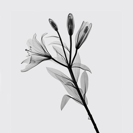 Lilium (Liliaceae).jpg