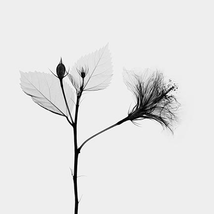Hibiscus (Malvacea).jpg