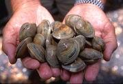 180px-LittleNeck_clams_USDA96c1862.jpg