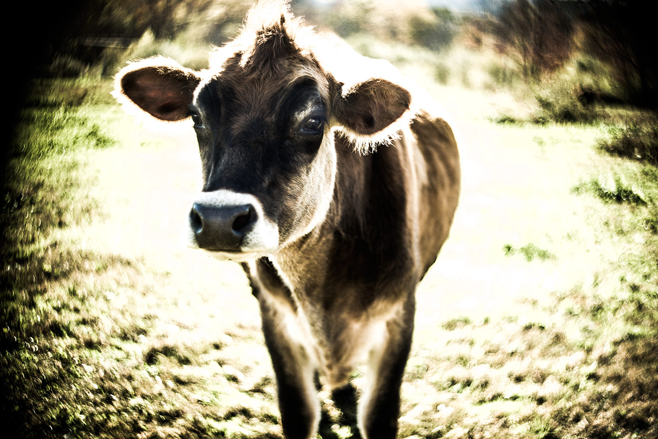 Cow_0706