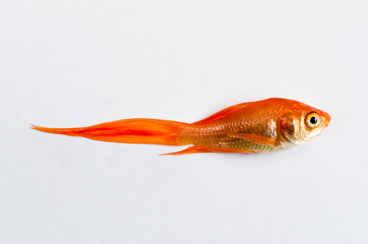 Dead Fish - Goldfish (2011).jpg