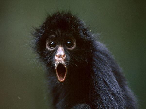spider-monkey_719_600x450.jpg