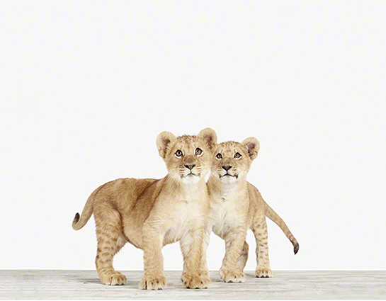Lion Cub Twins