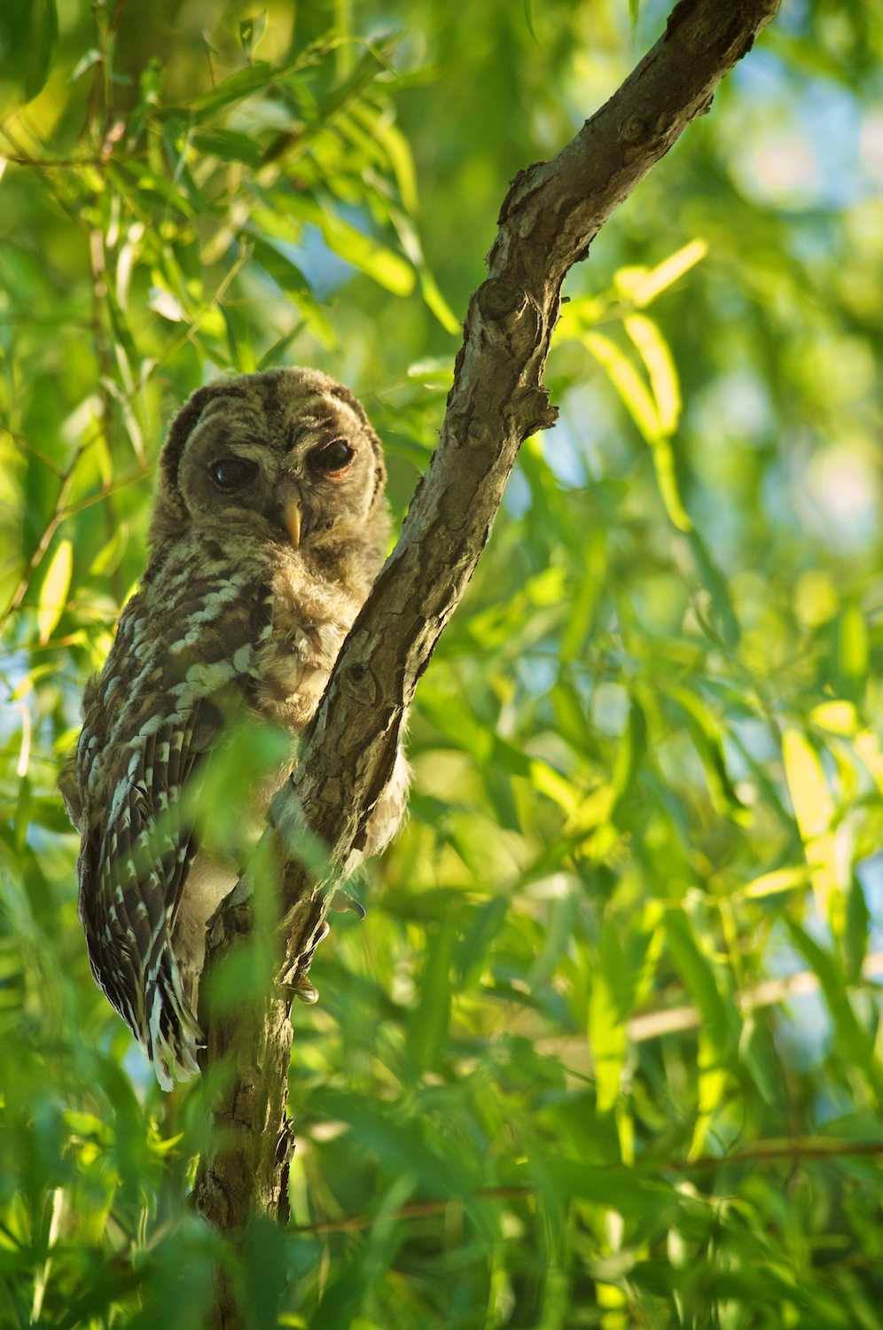Immature Barred Owl