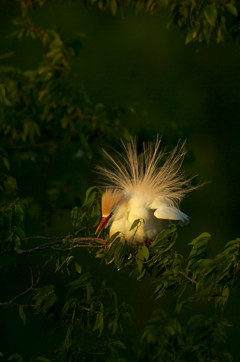 Cattle Egret Courtship Display
