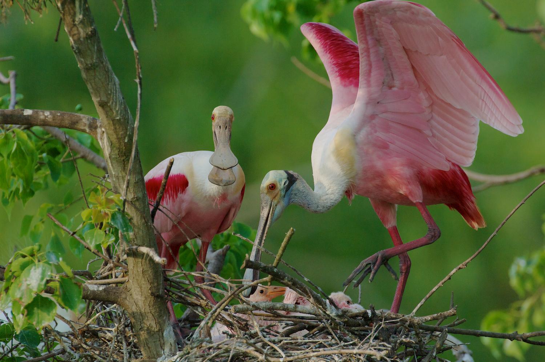 Roseate Spoonbills tending chicks