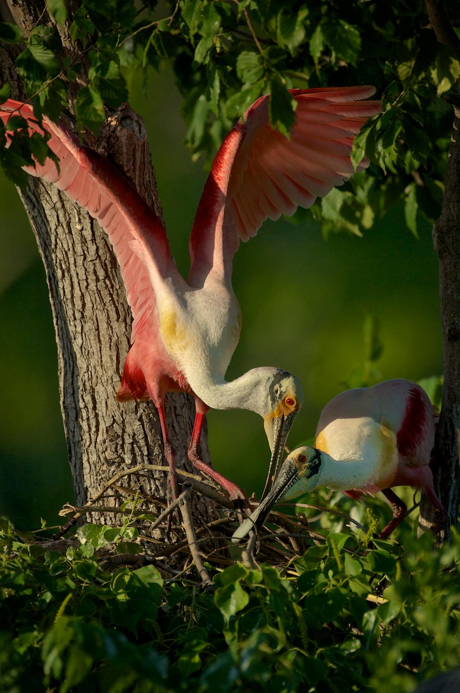 Roseate Spoonbills building a nest