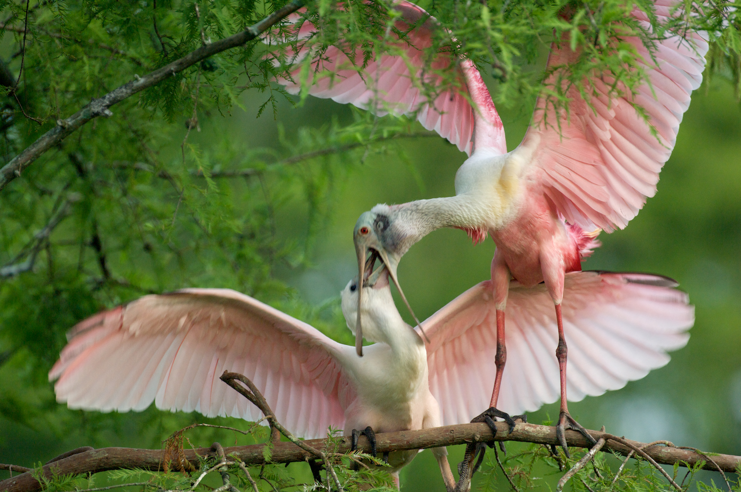 Roseate Spoonbill Feeding Chick