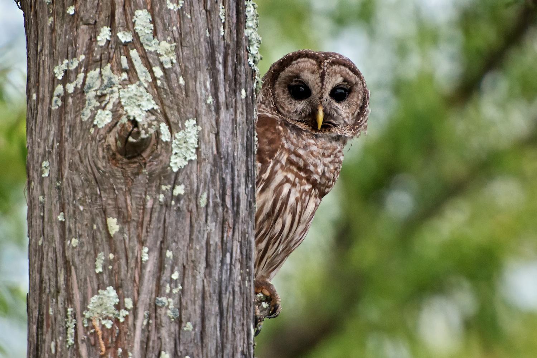 Owl Peering from behind Tree