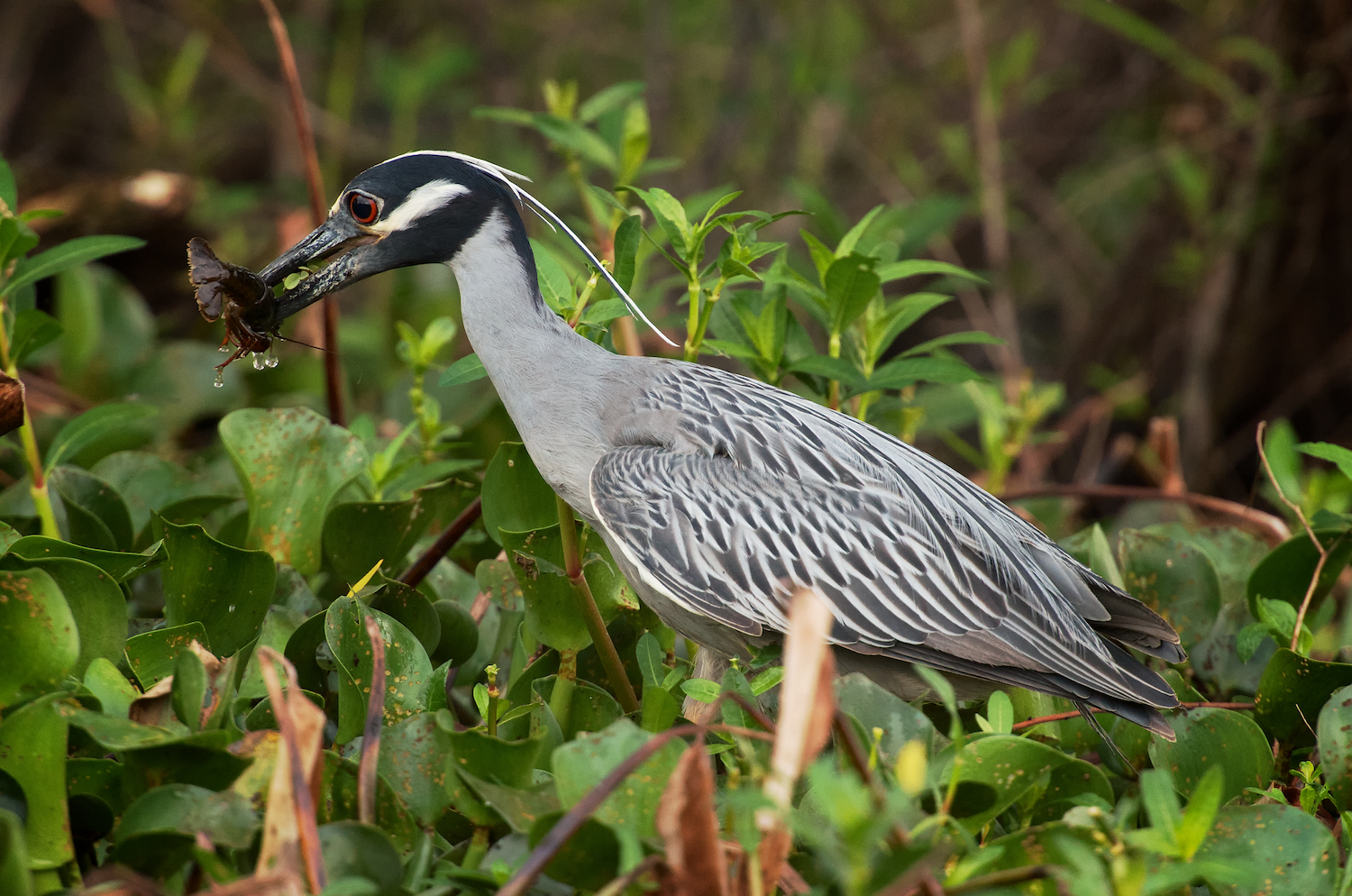 Yellow Crowned Night Heron with Crawfisht