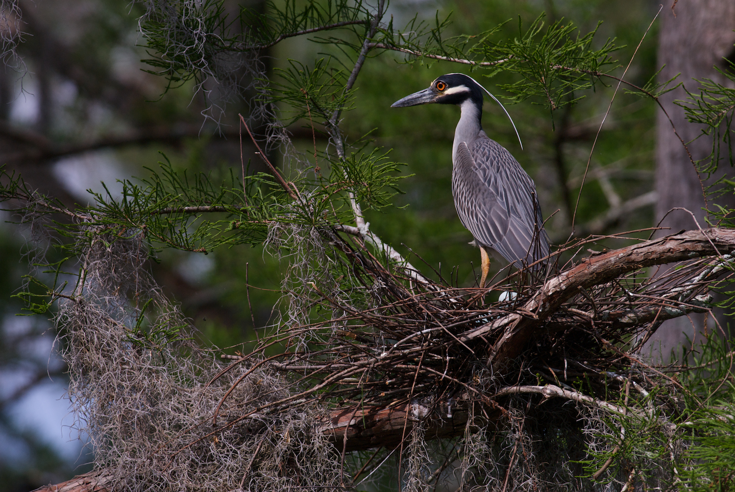Yellow Crowned Night Heron on Nest