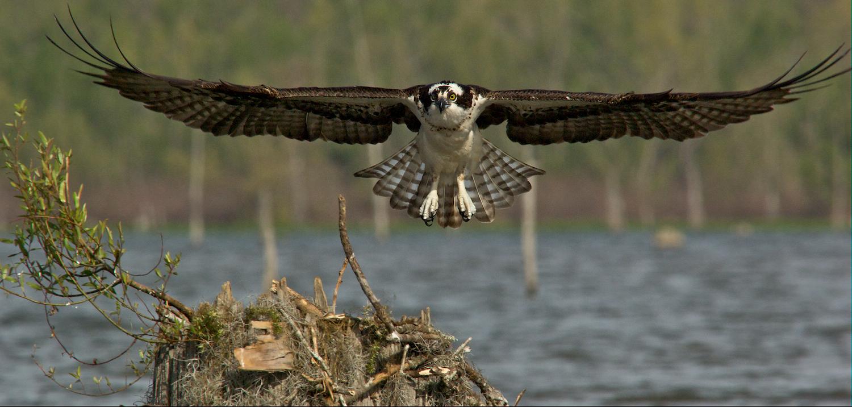 Osprey Landing on a Nest