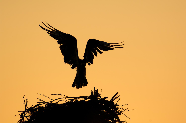 Osprey Silhouette