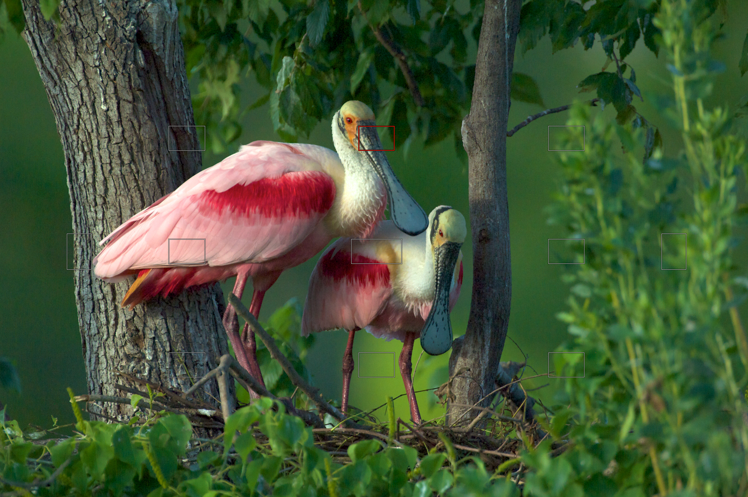 Roseate Spoonbills Building a Nest
