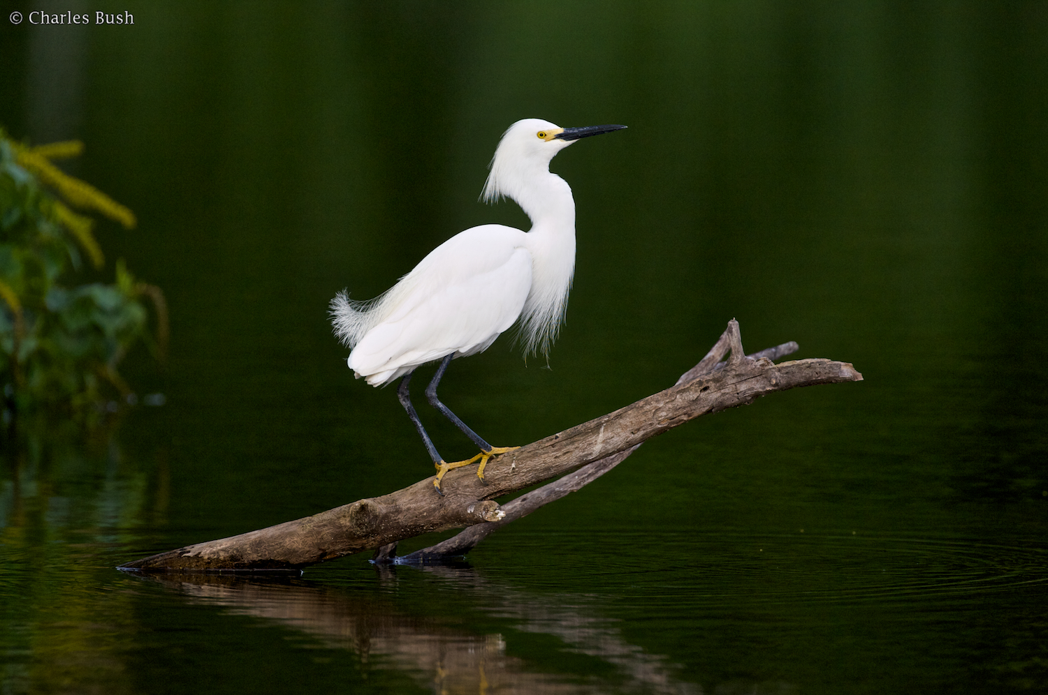 Snowy Egret at Lake Martin