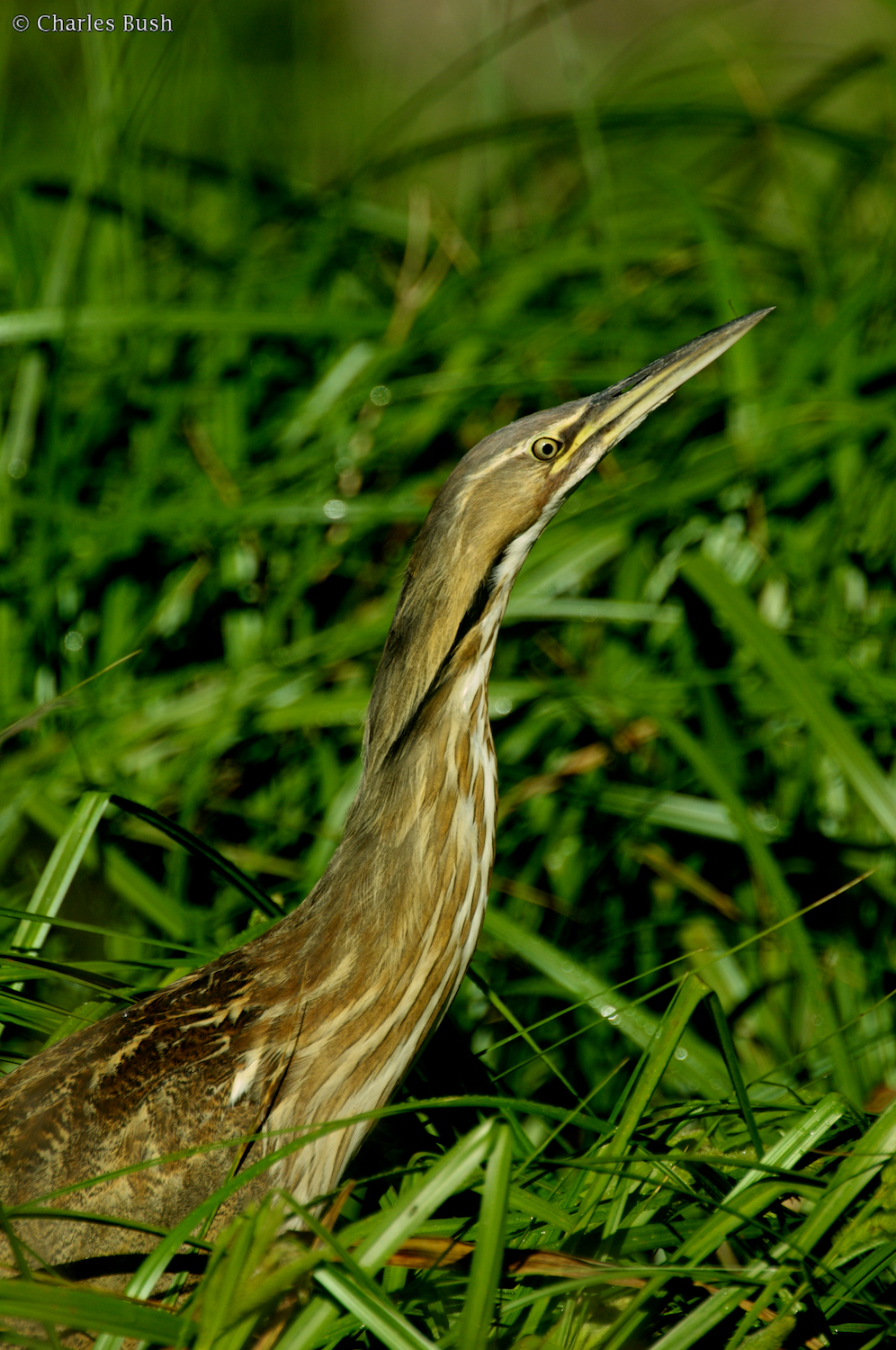 American Bittern Along the Road at Lake Martin