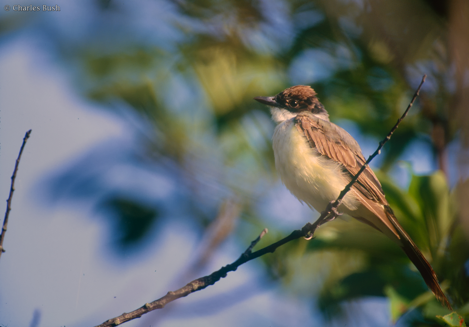 Juvenile Forked-Tailed Flycatcher  Nikon F5 600mm f4 AFS lens