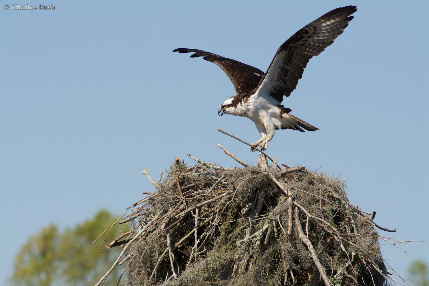 Osprey bringing Stick to the Nest
