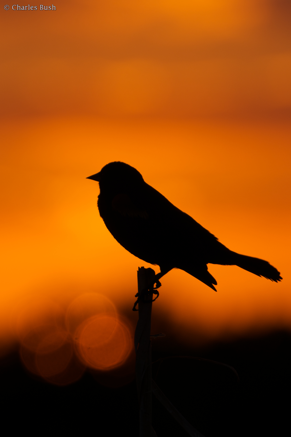 Redwing Blackbird at Sunset