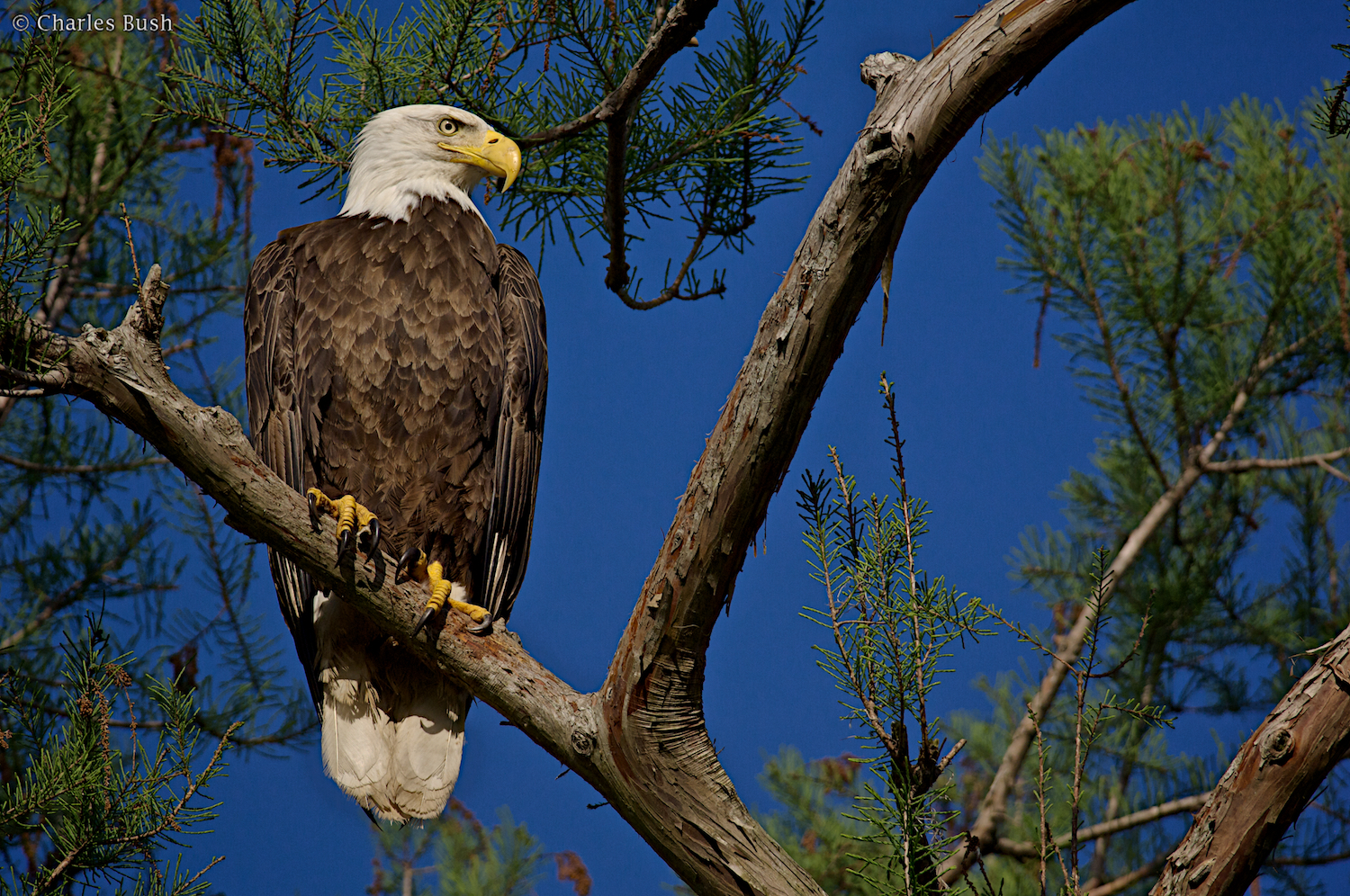 Bald Eagle Atchafalaya Basin