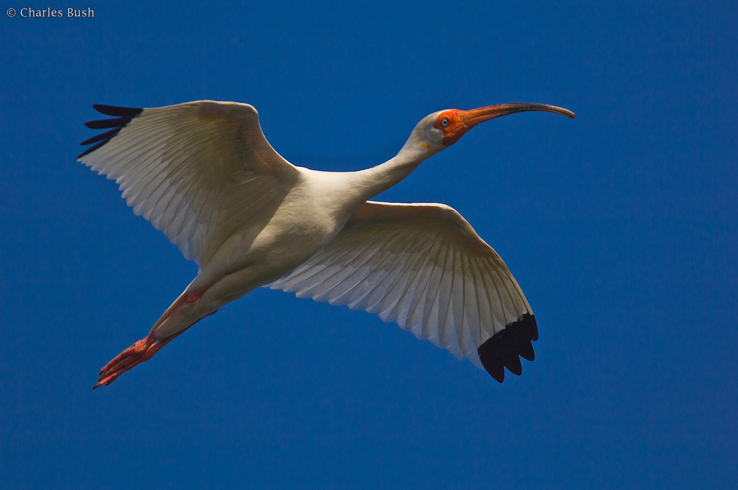 White Ibis in Breeding Plumage Millers Lake - Taken with Nikon D2X and Nikkor 300 AFS F/4 with TC-14e Teleconverter