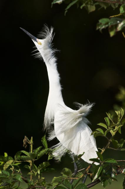 Snowy Egret, dark background