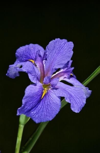 Flash lit Iris