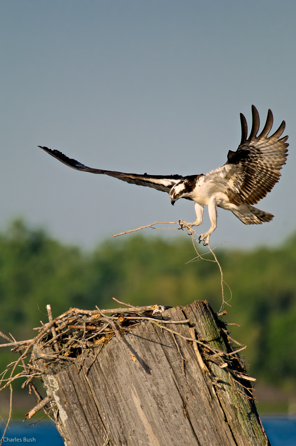 Osprey Landing on the Nest
