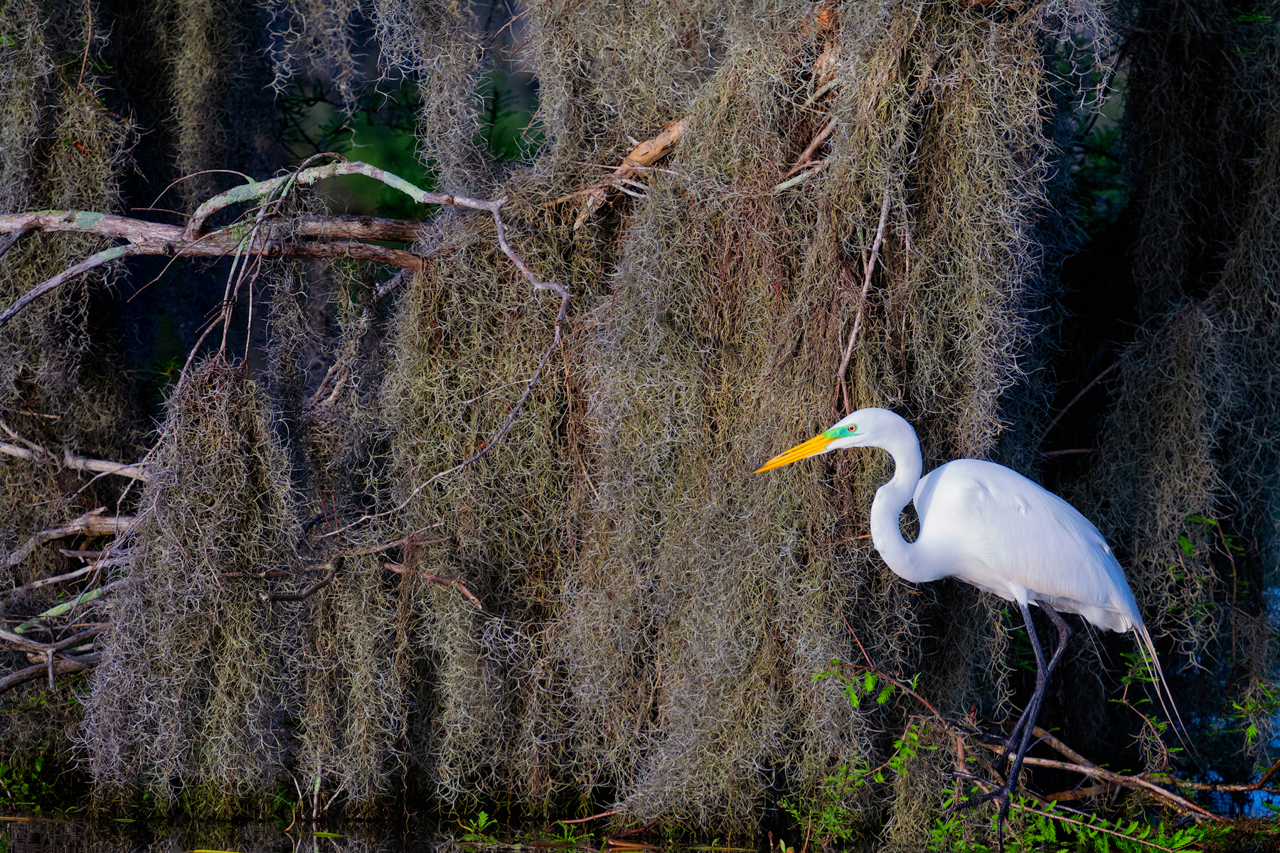 Great Egret / Spanish Moss