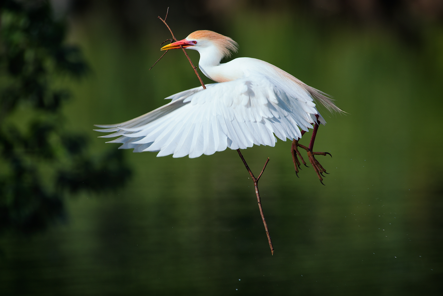 Cattle Egret Returning to Nest with a Stick - Jefferson Island