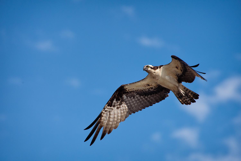 Osprey in Flight Atchafalaya Basin