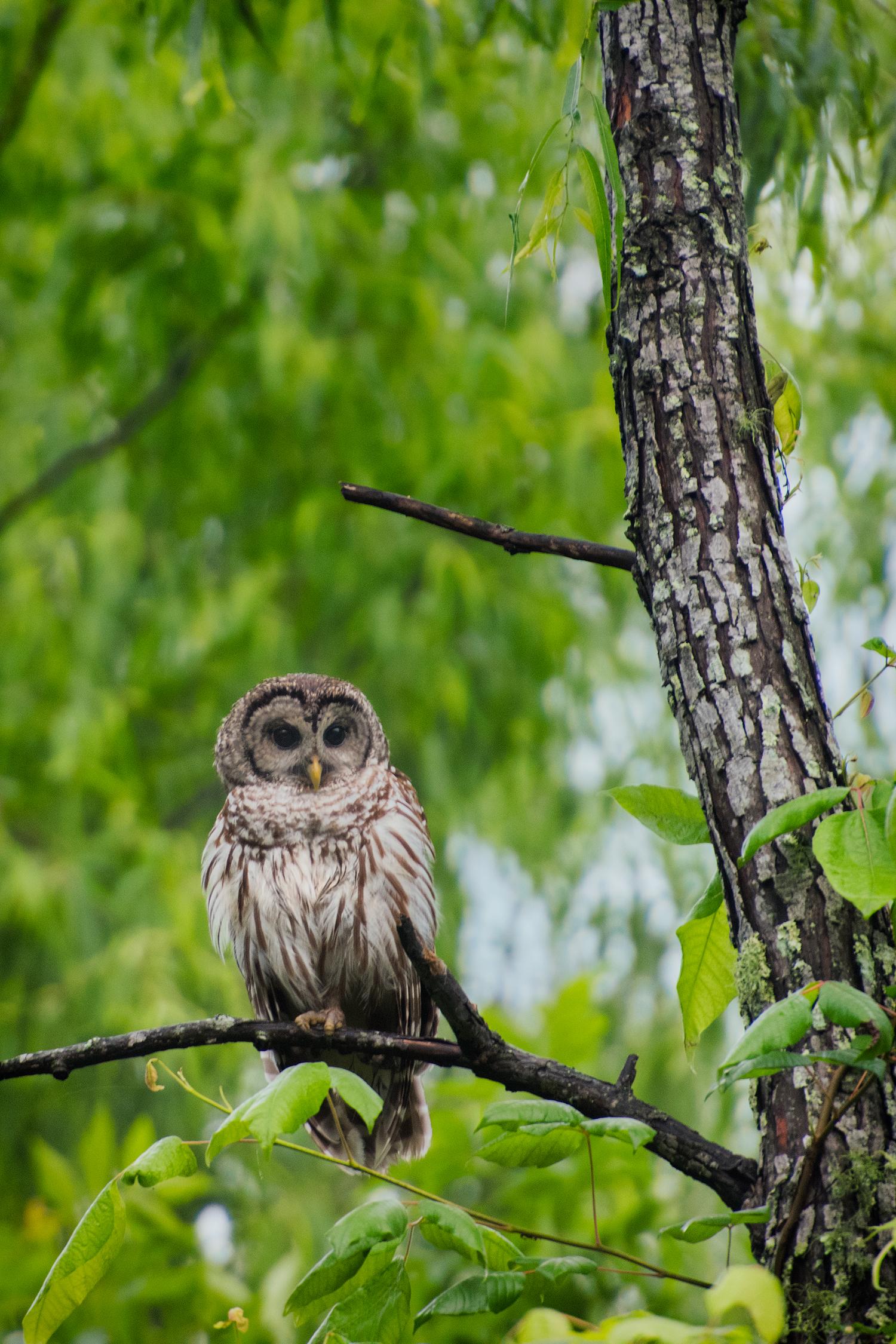 Barred Owl - Lake Martin