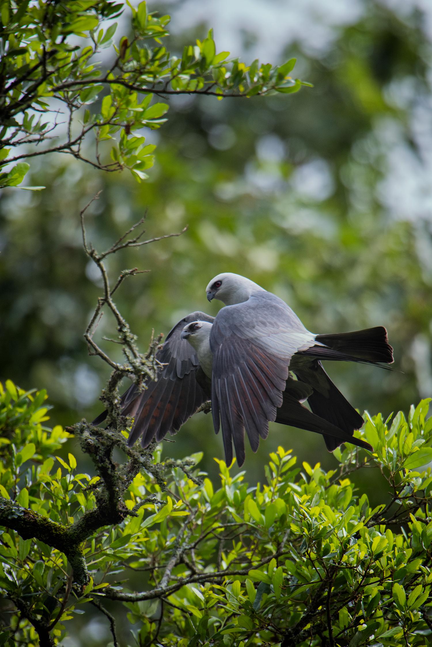 Mississippi Kites Mating