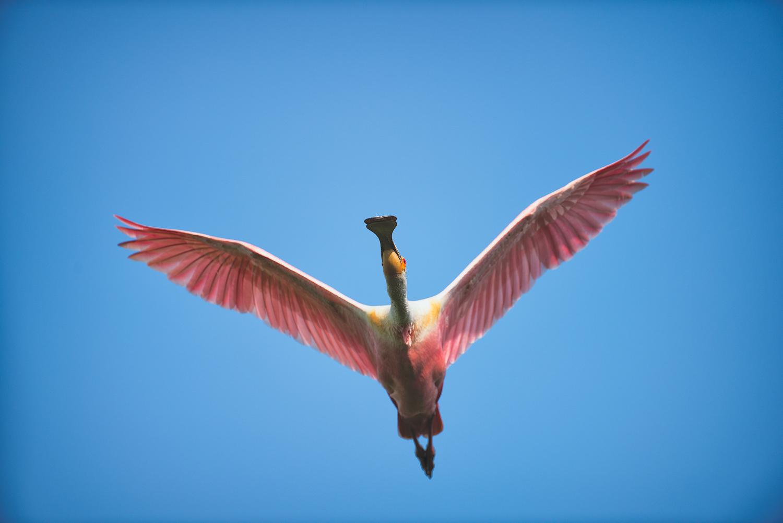 Roseate Spoonbill in Flight -Jefferson Island