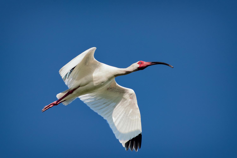 White Ibis in Flight - Millers Lake
