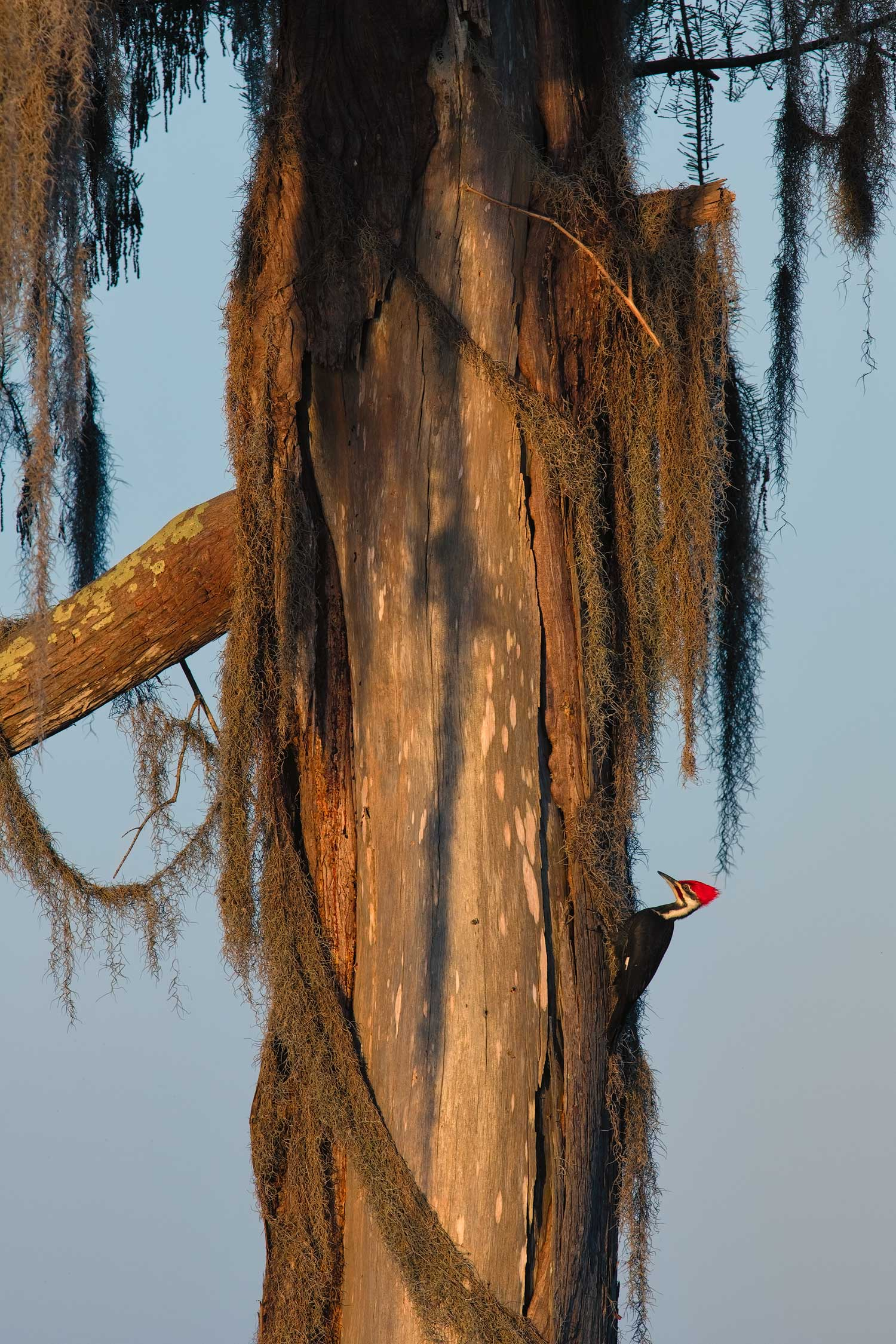 Pileated Woodpecker on Cypress Tree–Lake Martin, Louisiana