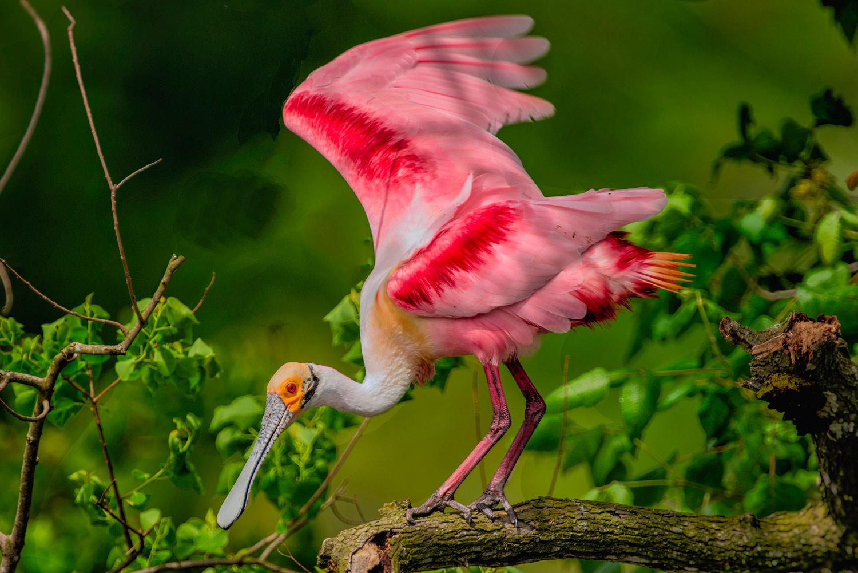 Roseate Spoonbill–Jefferson island