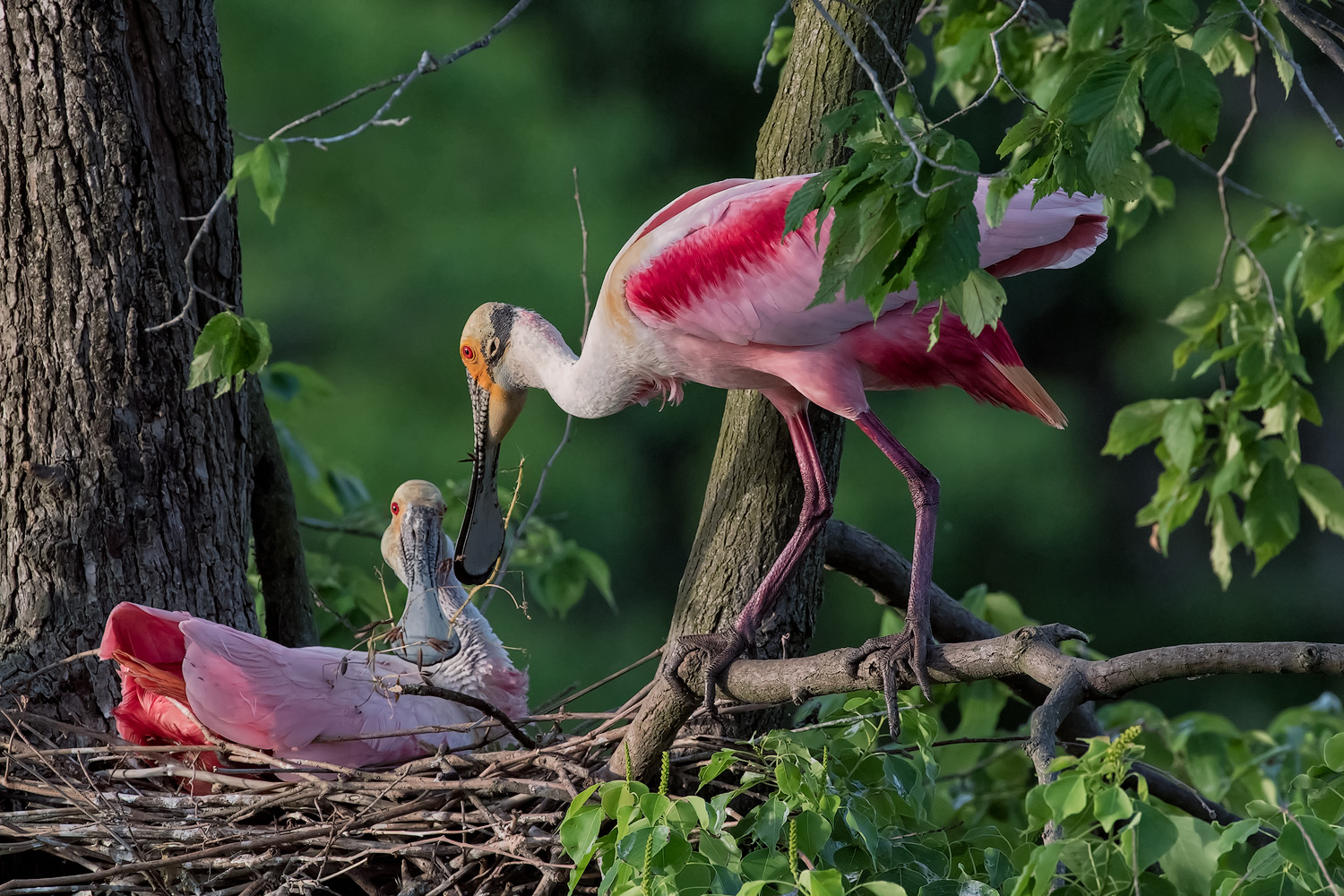 Roseate Spoonbill Passing Nesting Material to his Mate–Rip's Rip's Rookery