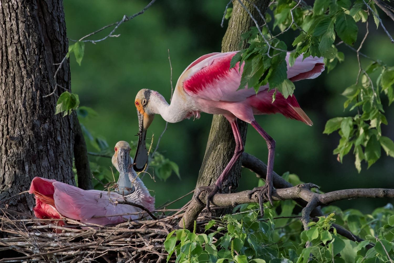 Roseate Spoonbills–Nest Building