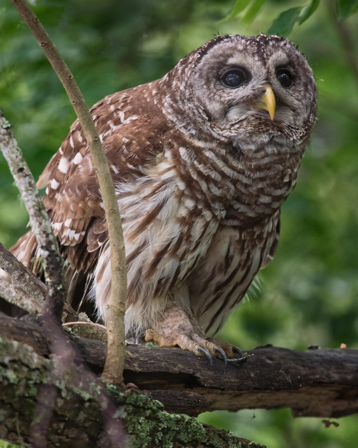 Barred Owl–Atchafalaya Basin