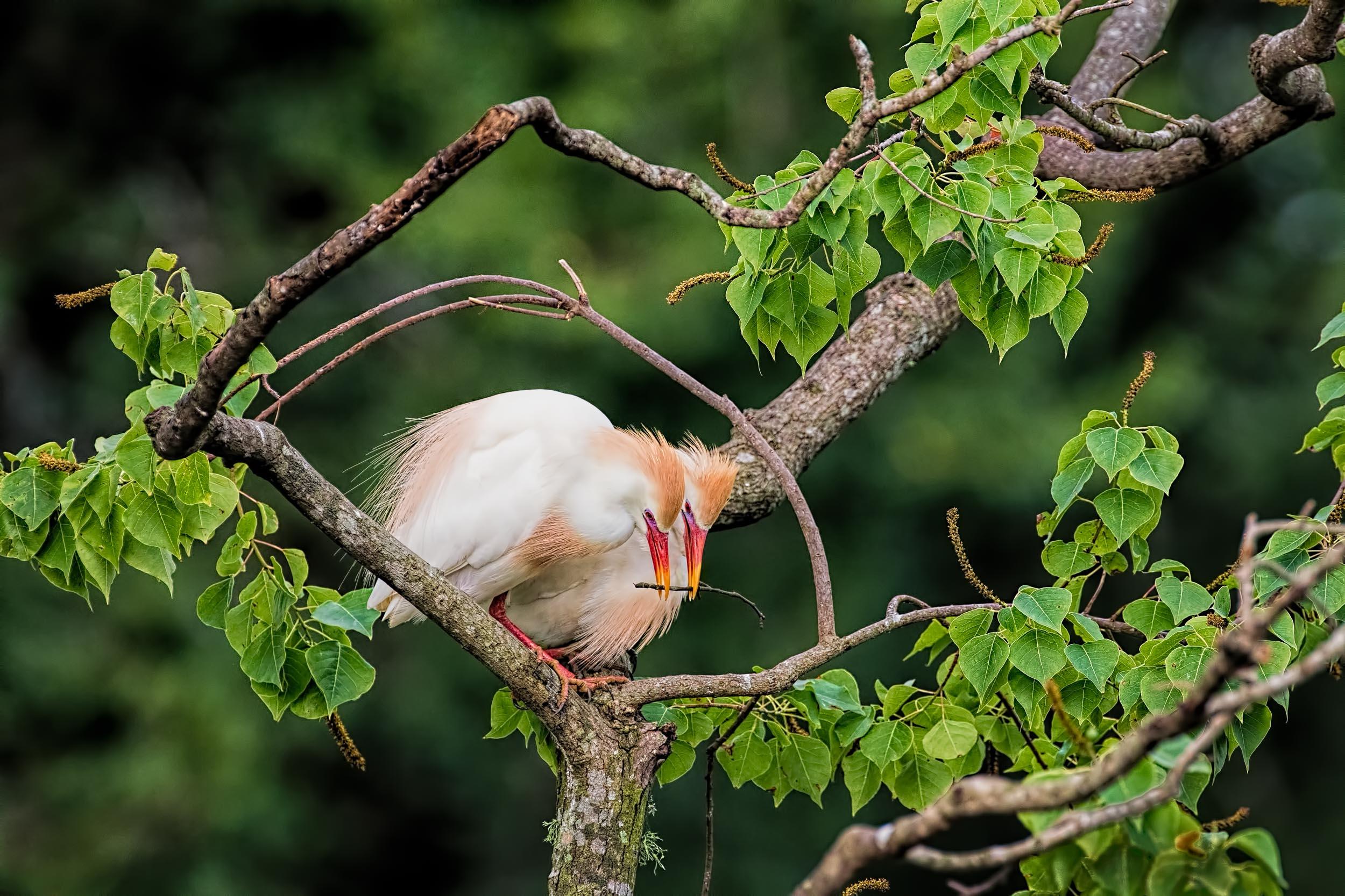 Cattle Egret Building Their Nest