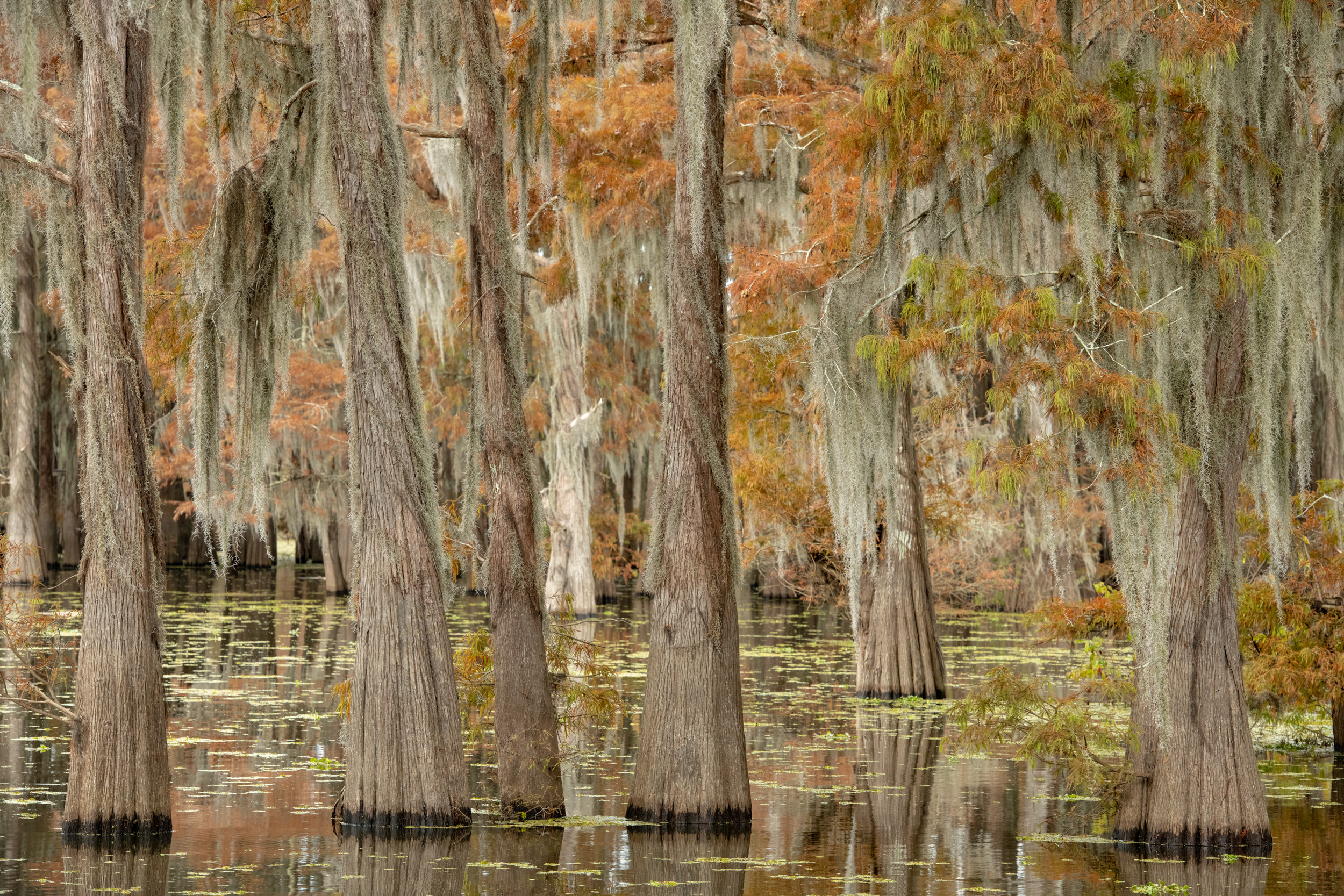 The Tall Cypress in the Fall