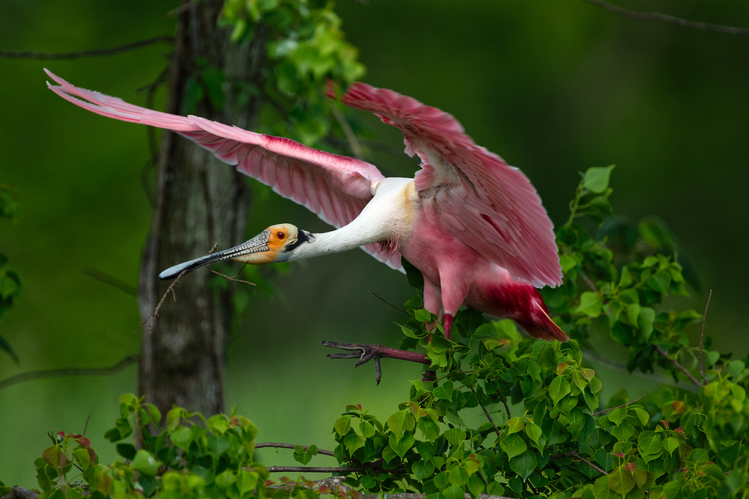 Roseate Spoonbill Bringing a Stick to the Nest–Spring 2018