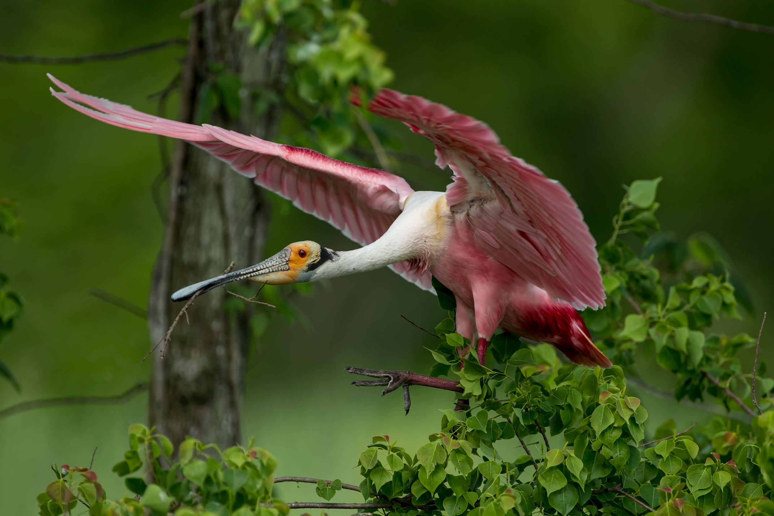 Roseate Spoonbill With Stick for the Nest