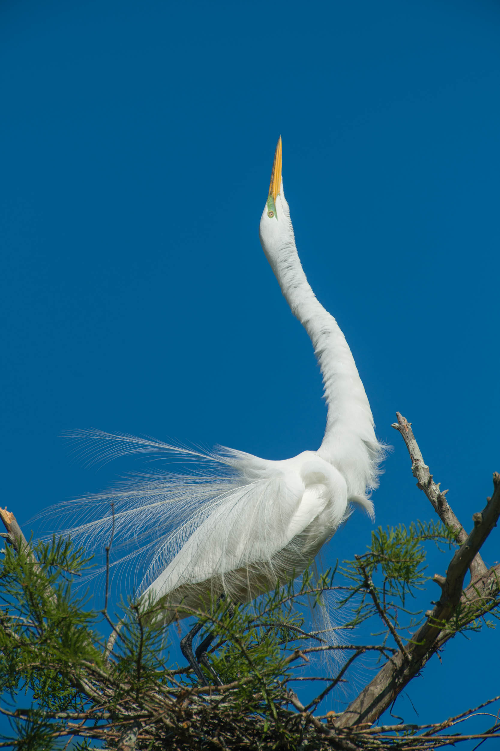 Great Egret Mating Display Cazan Lake