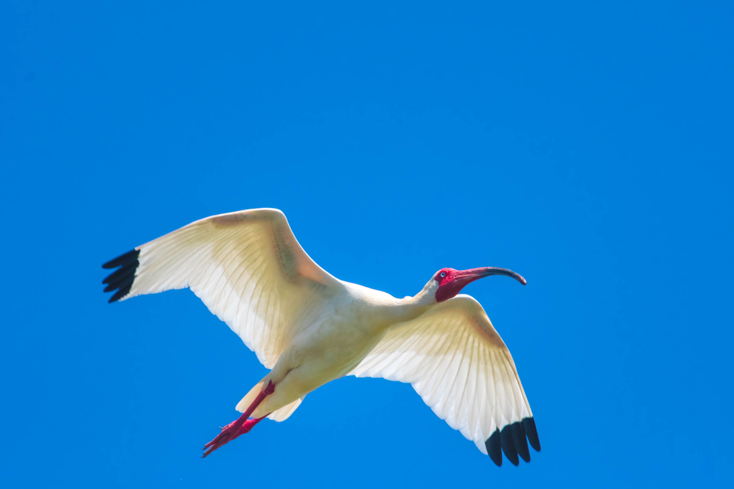 White Ibis in Flight @ Millers Lake