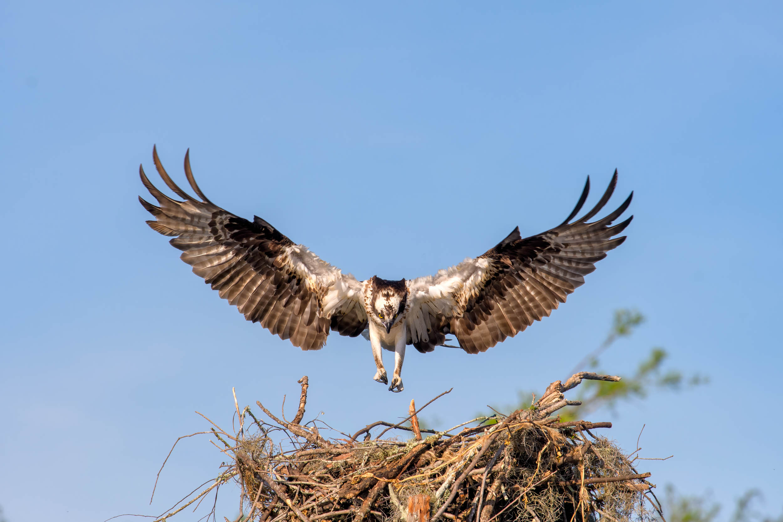 Osprey Returning to the Nest Henderson Swamp